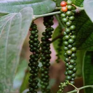 Health Benefits in Black Pepper Botanical Name Piper Nigrum