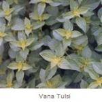 Vana Tulsi Herbs