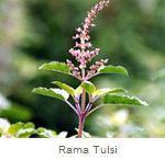 Rama Tulsi Herbs