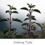 Krishna Tulsi Herbs