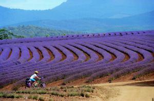 Lavender FarmTasmania Australia