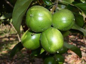 Cacay Fruit